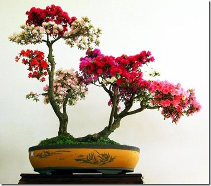 azalea bonsai tree care -- nice link to bonsai bearing fruit and flowers