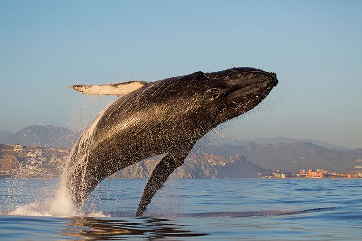 Great Whale Conservancy Favorite Charities Pinterest - Rare moment 40 ton whale jumps completely out of the water