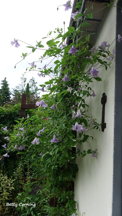 clematis Betty Corning, beautiful fragrance