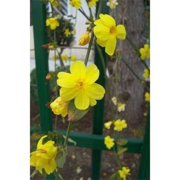 Jasminum nudiflorum - Winter Jasmine | Johnstown Garden Centre, Ireland