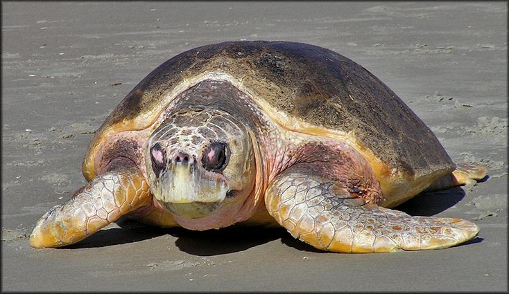 Caretta caretta Atlantic Loggerhead Turtle