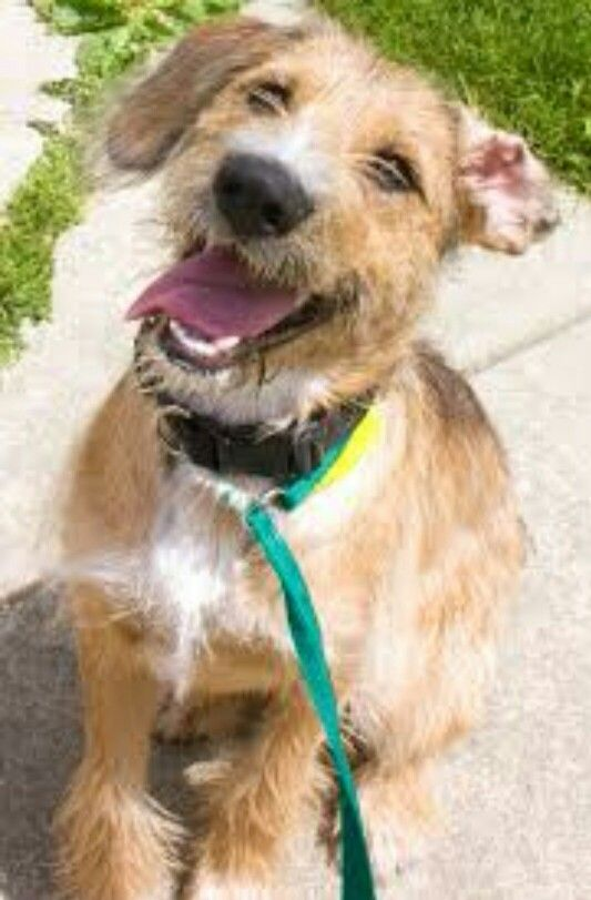 Wire Haired Terrier : Images about dogs that look like tanuki on pinterest