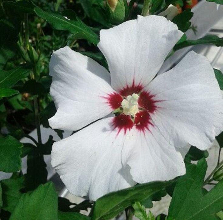 Hibisco blanco rosa de siria arbustos pinterest for Hibiscus arbol