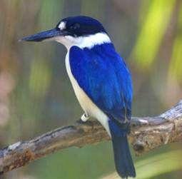 Forest kingfisher (Todiramphus macleayii), aka  Macleay's or Blue kingfisher,