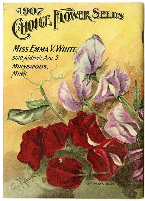 "Red and purple sweet peas are found on the back cover of Emma V. White's 1907 catalog. In addition, the very first artist signature is found, uncovering the artist, G. Tyndale. Emma V. White called herself the ""North Star Seedswoman"" and had her first mailing in 1896. She produced catalogs with colorful, hand painted covers aimed at woman customers."