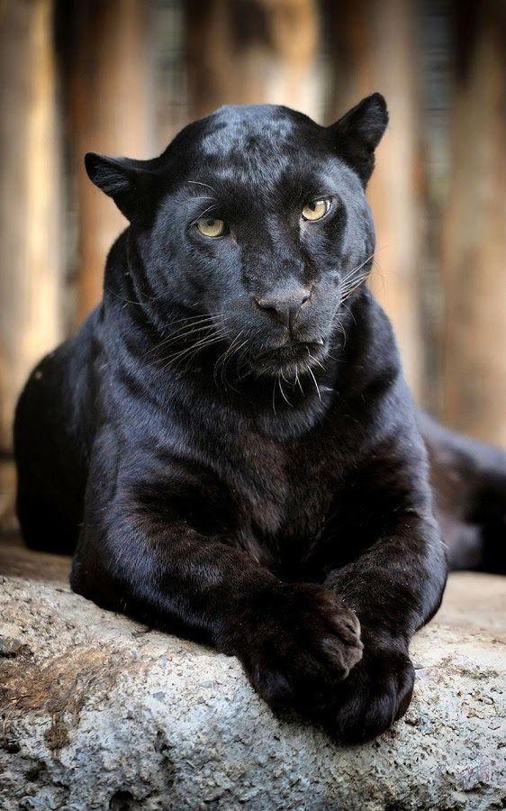 Black Panther Sleeping In Tree