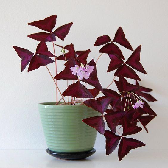 oxalis triangularis - christia - jardiner en ville - plante - tendance