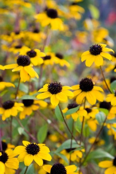 Rudbeckia Triloba, Brown-Eyed Susan, Native Black-Eyed Susan, Thin-Leaved Rudbeckia, Thin-Leaf Coneflower, Branched Coneflower, late summer perennial, golden flowers, yellow perennial