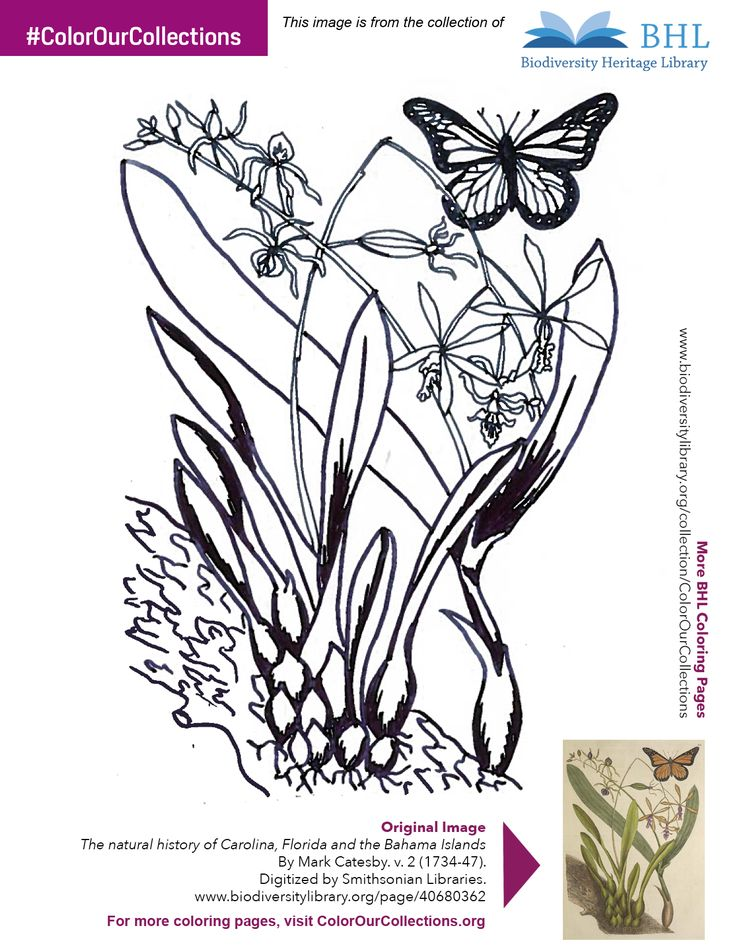 """#ColorOurCollections. Original Image: http://www.biodiversitylibrary.org/page/40680362. To download this image, right click on the pin and choose """"save image as"""" to save the image to your computer. You can then print and color at your leisure!"""