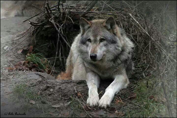 ♡Beautiful wolf