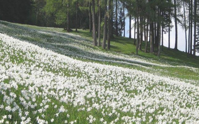 Poiana Narciselor, locul fermecat în care milioane de flori înfloresc în luna mai - de unde vine numele narcisei