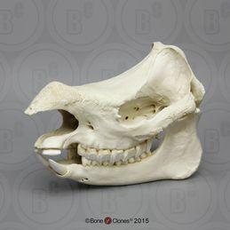 Javan Rhinoceros Skull