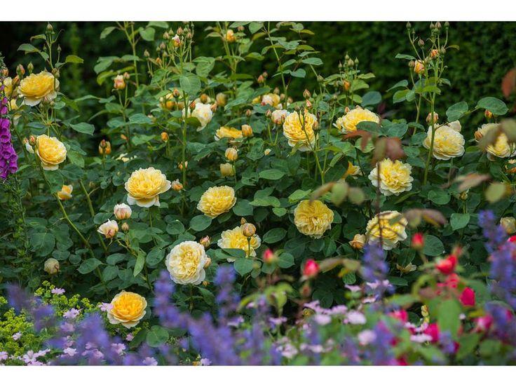 In The Garden: David Austin's ravishing English roses