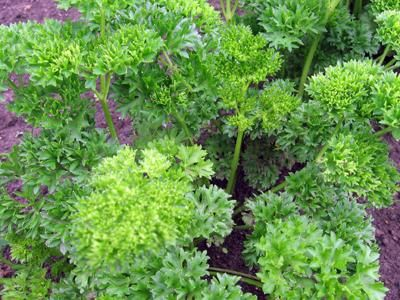 Detox - Add More Parsley and Cilantro (Coriander) To Your Diet
