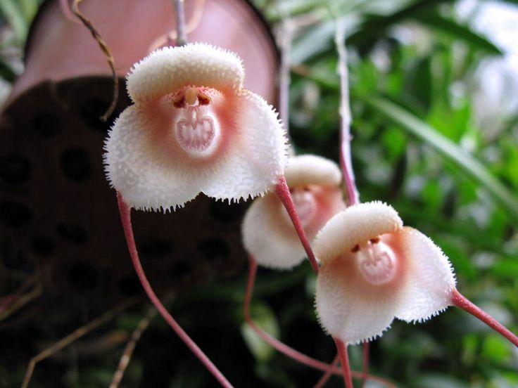 Draculaest un genre de plante de la famille des orchidées ressemblant étrangement à une tête de singe. Elle est originaire des forêts d'altitude d'Amérique du sud (Mexique, Pérou, Cordillère des Andes). Son nom vient du mot Drac qui en roumain signifie Diable / Diablesse, en référence à sa forme: les pétales et sépales se terminent par de longues pointes pendantes. Ce sont des fleurs délicates qui apprécient l'ombre et sa fraîcheur. On en compte à ce jour118 espèces.