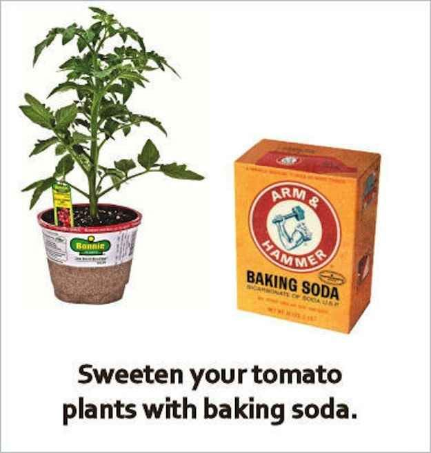 El bicarbonato de sodio puede hacer que los tomates cultivados en casa tengan un sabor menos agrio.   30 trucos de jardinería extremadamente ingeniosos