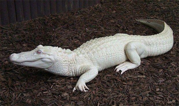 L'alligator Albinos - Phénomènes rares que cette cachotière de nature nous réserve.