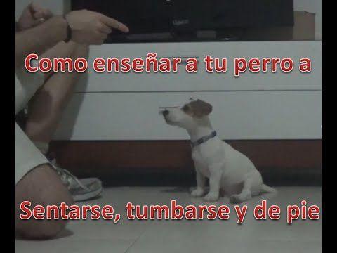 COMO ENSEÑAR A TU PERRO A SENTARSE (tumbarse y de pie) PASO .-1: Este primer paso consiste simplemente en ir guiando al perro para que realice los movimiento...