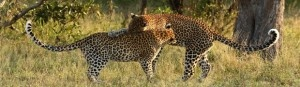 Leopard mother & son in the Timbavati Game Reserve (Tanda Tula)
