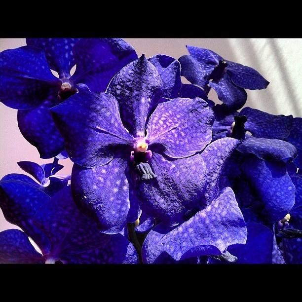 #Flowers #Orchid #blue Vanda Rotchildiana originally purple blue by Yael Rozencwajg