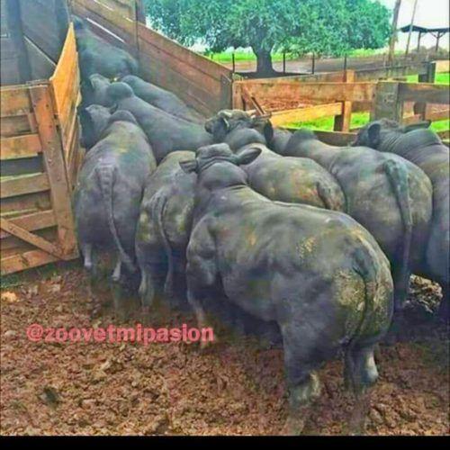 Que es la Zona de fuga y factores de estrés en bovinos