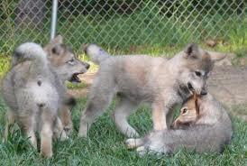 Fingerplays & Action Rhymes: Ten Little Wolf Pups