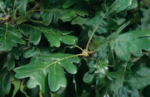 Garry Oak or Oregon White Oak for NE corner. (Quercus garryana)