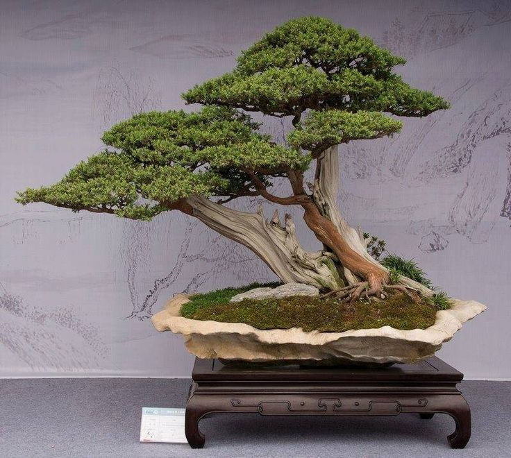 1229 besten bonsai bilder auf pinterest pflanzen blumen. Black Bedroom Furniture Sets. Home Design Ideas
