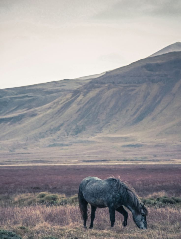Icelandic horse. Photo by Lise Ulrich