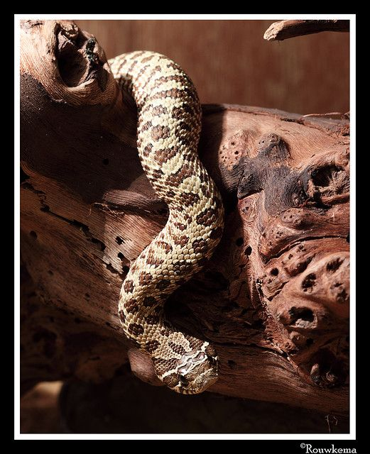 144 Best Snakes Images On Pinterest