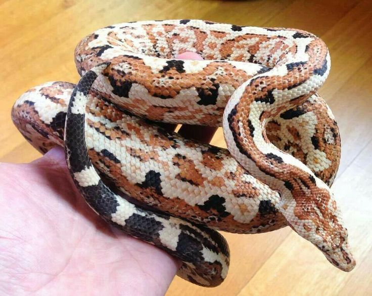 constrictor snakes Other feral species of giant constrictor snakes also have been sighted or caught in the wild in giant constrictors have the potential to appreciably alter the natural communities of life in south florida.