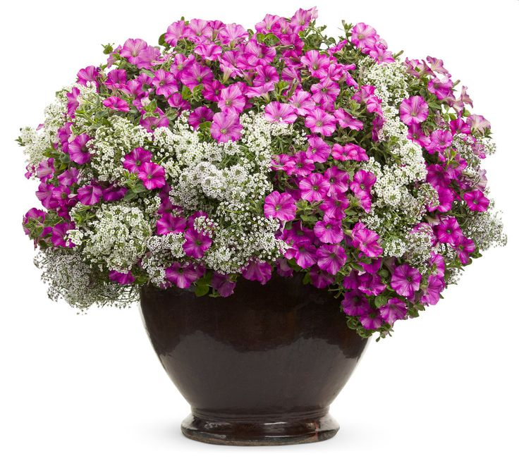 "Container garden - Supertunia ""Raspberry Blast"" & ""Snow Princess"" Alyssum. Proven Winners"