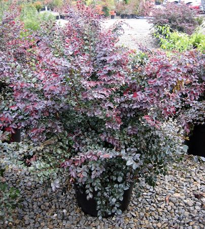 11 best images about fall flower beds on pinterest for Best bushes for flower beds