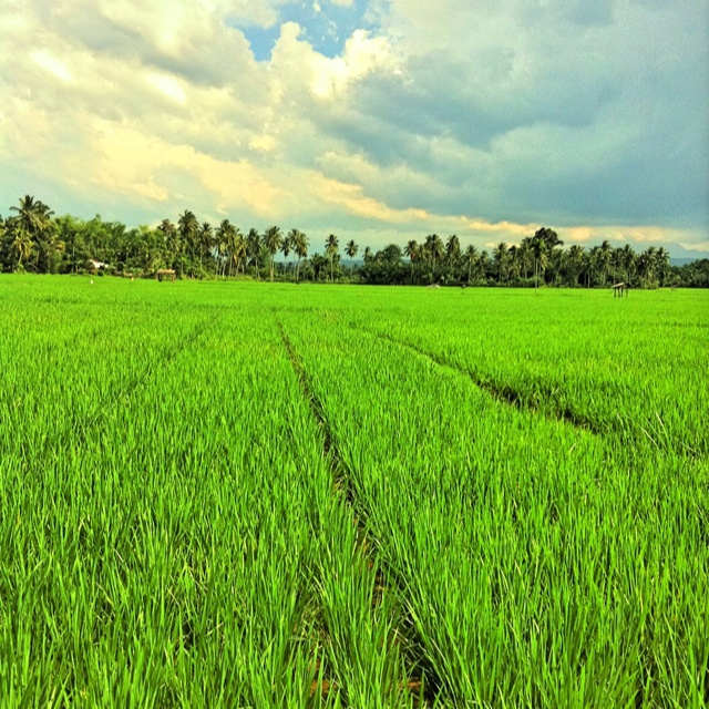 Rice Field on hometown #Aceh #Indonesia
