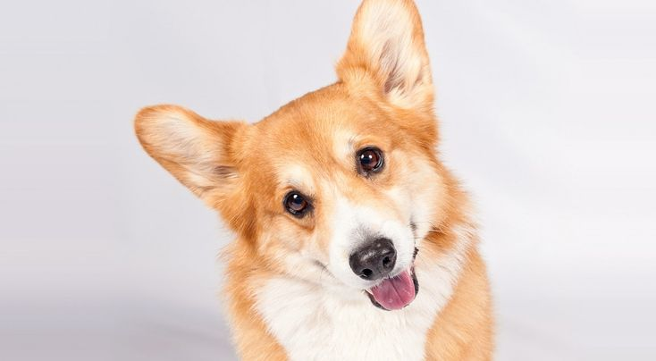 Right breed for you? Pembroke Welsh Corgi information including personality, history, grooming, pictures, videos, how to find a Pembroke Welsh Corgi and AKC standard.