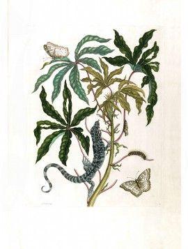 Merian Butterfly prints Jatropha Moth   Lizzard & Manioc