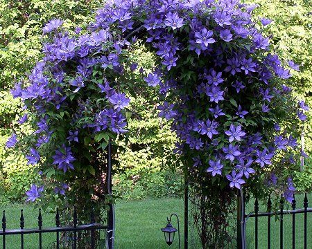Beautiful Clematis (perennial) over an arbor. Grow Clematis in full sun, but keep their roots cool. They will bloom for a nice amount of time...then you have to wait until next year to seem them again.     This is definitely gorgeous, but for a vine growing over an arbor, I would also consider roses. Some of them will re-bloom throughout the season providing longer color.