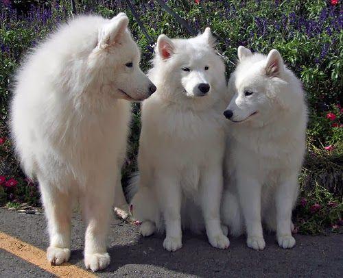 3 white dog