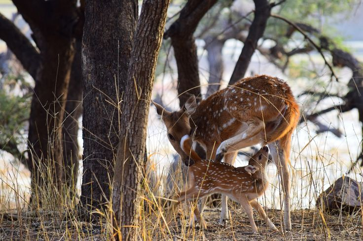 Cheetal or spotted deer with her fawn at Ranthambore National Park.  #travel #boutindia #traveling #ranthambore #tigerreserve #PicOfTheDay