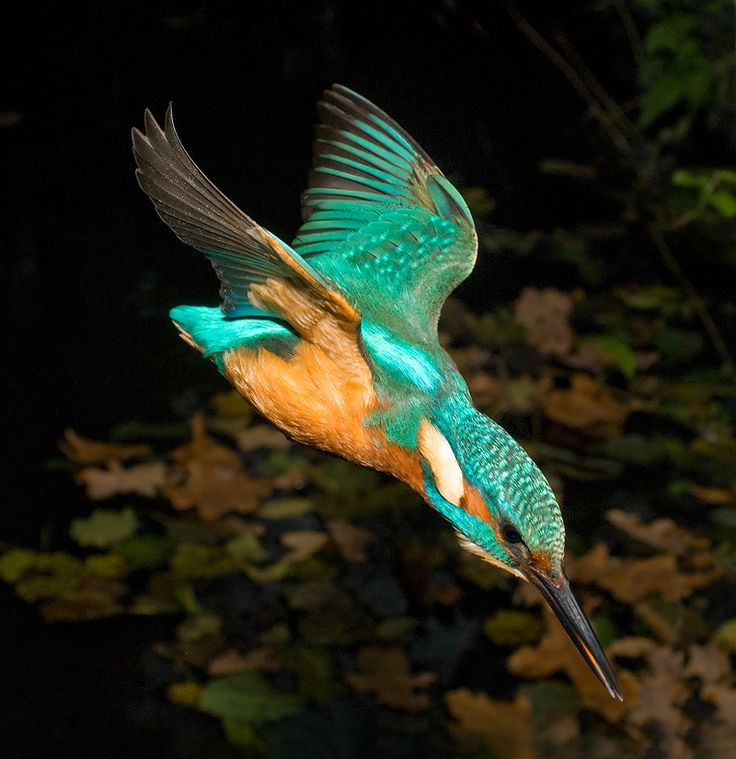 The Common Kingfisher (Alcedo atthis) also known as Eurasian Kingfisher or River Kingfisher, is a small kingfisher with seven subspecies recognized within its wide distribution across Eurasia and North Africa. This sparrow-sized bird has the typical short-tailed, large-headed kingfisher profile. It feeds mainly on fish, caught by diving, and has special visual adaptions to enable it to see prey under water. The glossy white eggs are laid in a nest at the end of a burrow in a riverbank.