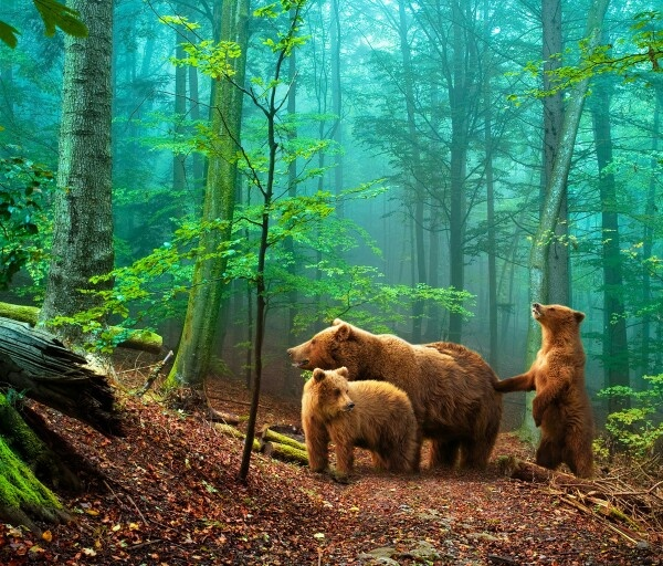 Familia de osos: Forests, John Muir, Bays Area, Wood, Natural Beautiful, Cubs, Families, Brown Bears, Grizzly Bears