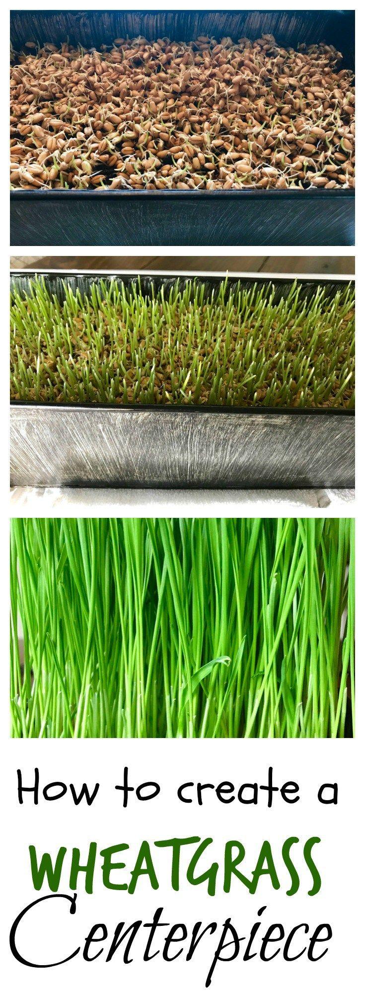DIY + grow + wheatgrass + seeds + grass + Easter grass