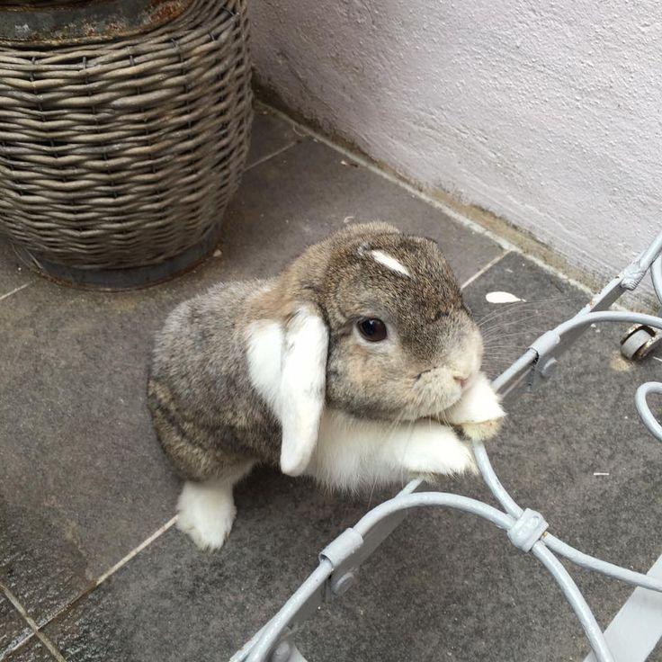 Bambou, lapin bélier - vedette de notre CONCOURS Photo mensuel chat, chien, animaux. participez ici >> http://www.verlina.com/concours-photo.php