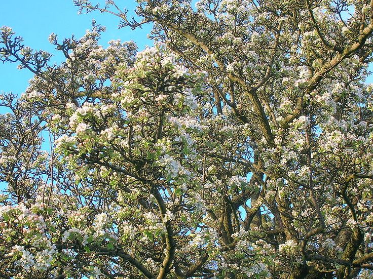 File:Wild Pear Tree in full blossom.JPG