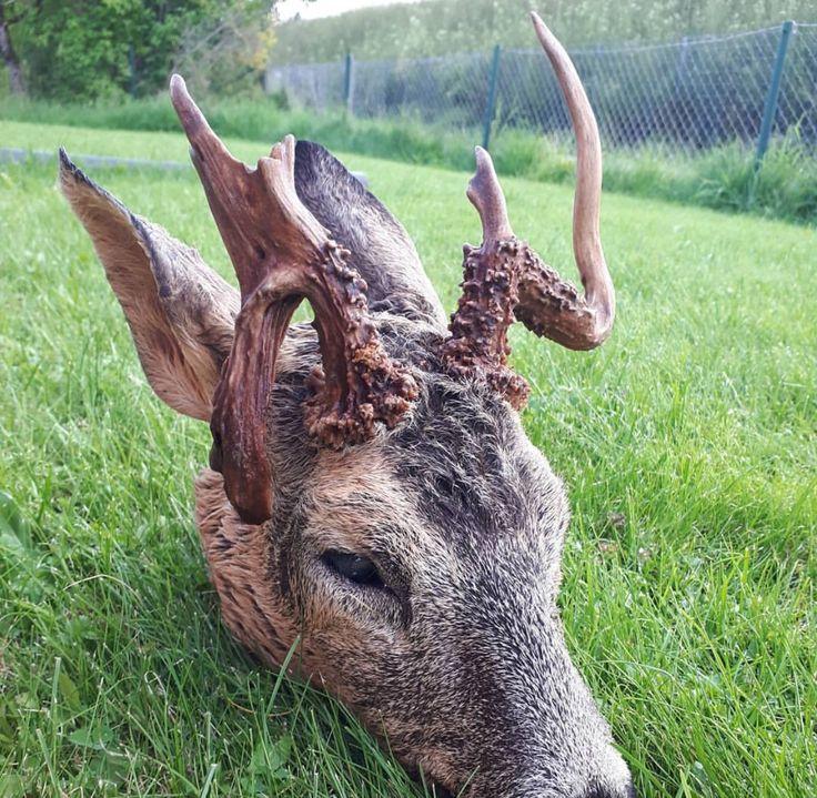 Louisiana Deer Map%0A Deer  Red Deer  Reindeer  Sambar Deer