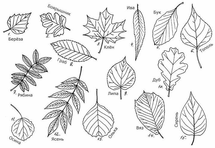 Определитель листьев для гербария