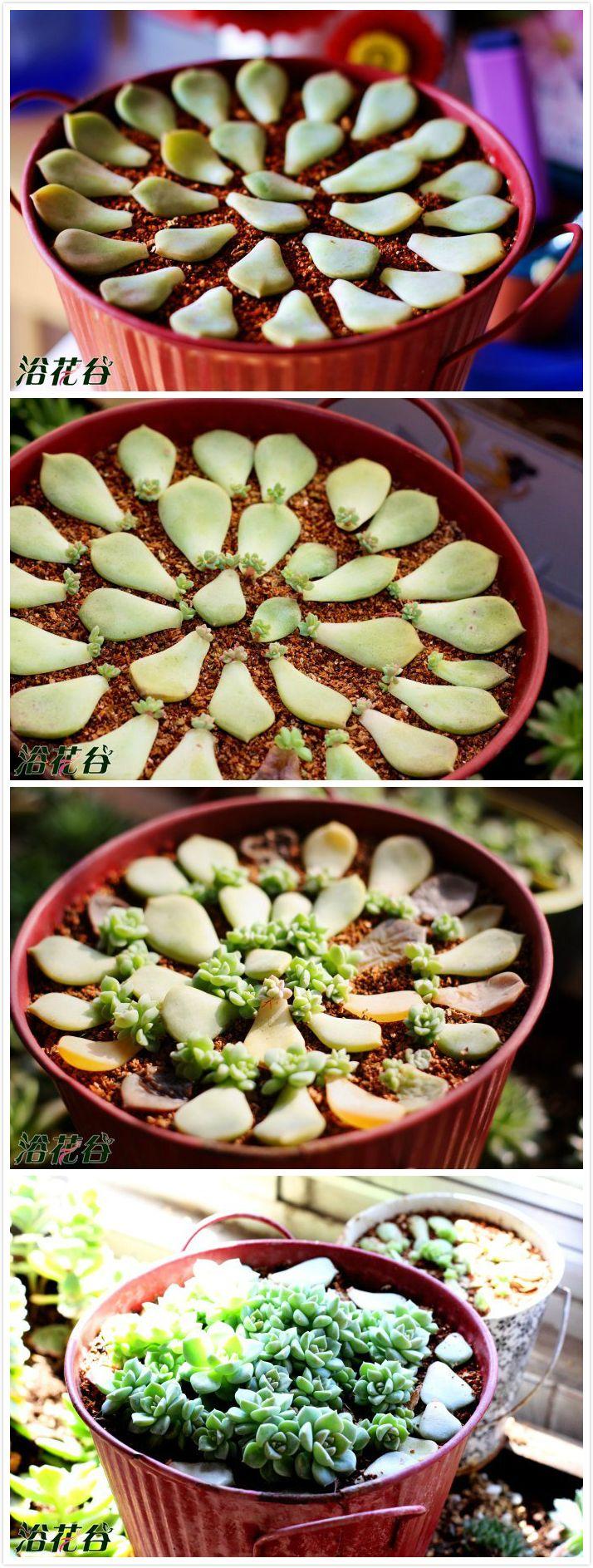 Succulent - cute time lapse photos 叶插小肉肉,,
