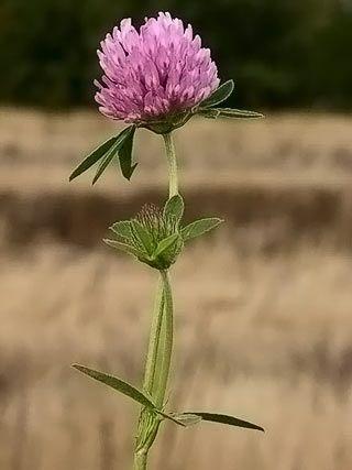 Puna-apila, Trifolium pratense - Kukkakasvit - LuontoPortti