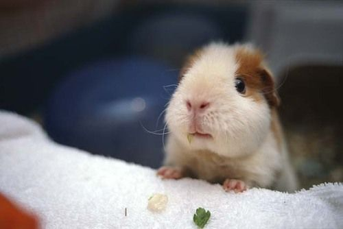 R Guinea Pigs Rodents 18 best H A M S T E R ...