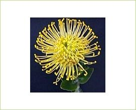 Yellow Bird - Pincushion - Proteas and Leucadendrons - Flowers by category | Sierra Flower Finder